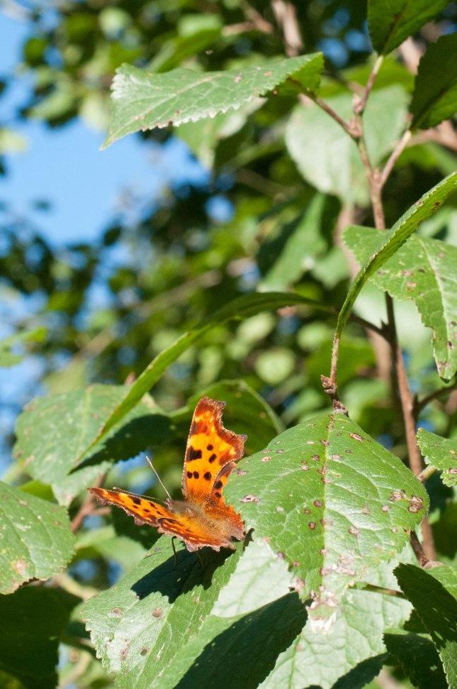 Schmetterling im Apfelbaum