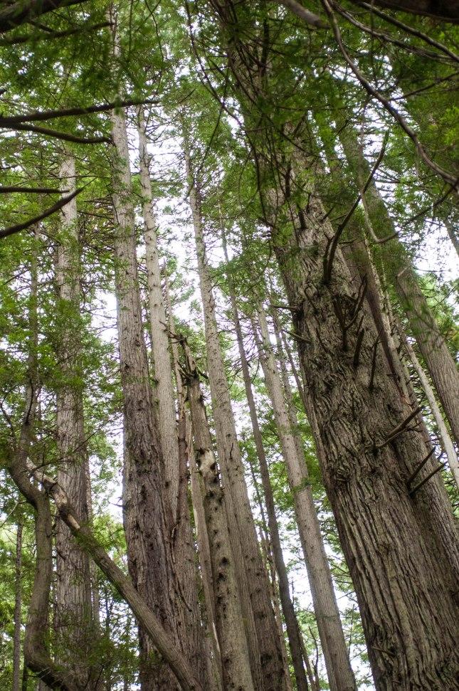 ZAJ_2159Trees of Mystery